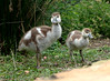 I love geese (rjmiller1807) Tags: geese goslings babygeese babybirds babyanimals cute fluffy egyptiangoslings egyptiangeese egyptiangoose 2017 august companysgarden capetown westerncape southafrica birds aves avian olympus tough olympustg4 toughcamera