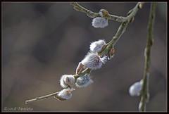 Spring? (♥ Annieta ) Tags: annieta maart 2018 sony a6000 nederland netherlands krimpenerwaard polder katjes lente spring printemps primavera allrightsreserved usingthispicturewithoutpermissionisillegal wilgenkatje catkin willow