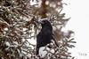 Our Raven (Dan King Alaskan Photography) Tags: raven avian bird black spruce canon80d sigma150600mm