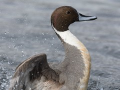 Northern Pintail (hoppedscott) Tags: duck pintail northernpintail anasacuta birding ladner reifel bc nature outdoors