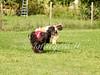 CoursingVillaverla2016w-011 (Jessica Sola - Overlook) Tags: dogs sighthounds afghanhounds greyhounds saluki barzoi italiangreyhounds irishwolfhounds lurecoursing lure race run dograces field greengrass