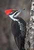 Pileated Woodpecker - Female (Turk Images) Tags: aspenparkland dryocopuspileatus isletlake pileatedwoodpecker alberta birds piwo picidae winter woodpeckers