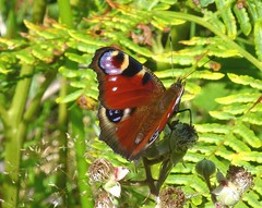 Peacock Butterfly, New Forest NP, Hampshire, UK (east med wanderer) Tags: england hampshire uk bramble butterfly peacock newforestnationalpark nationalpark aglaisio