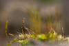 Résister...! - Resist...! (minelflojor) Tags: mousse pousse rosée macro bokeh flou miniature fondu petit printemps moss grows dew blur fade small spring carpet