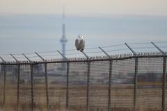 Snowy Owl (Rob E Twoo) Tags: cn tower city canada nature wildlife toronto ontario snowy owl bird birding naturaleza outdoor explore