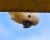 Ever feel like you are being watched? Sulphur-crested Cockatoo (Merrillie) Tags: australia nsw woywoy sulphurcrestedcockatoo wildlife tree nature cockatoo bird birds animal animals fauna parrot newsouthwales jacaranda