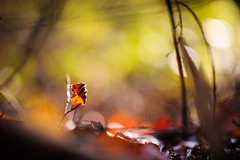 Autumn Impressions III (Ir3nicus) Tags: 85mm14g ausen blatt bokeh geringeschärfentiefe herbst natur verwelkt kamplintfort nordrheinwestfalen deutschland de afsnikkor85mm114g nikon d700 dslr fullframe fx outdoor leaf shallowdepthoffield autumn nature withered germany