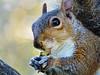 morning snack (saraconve) Tags: squirrel scoiattolo squirrels scoiattoli animal animali animals animale nature natura mothernature cute tenero eyes torino turin parcodelvalentino valentino italia italy wildlife