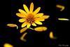 Mystical... (Maria Godfrida) Tags: smileonsaturday sunnyyellow flora flowers plants petals blackbackground closeup 7dwf