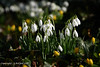 First Signs of Spring. (Holfo) Tags: photoshoots snowdrops flowers springtime nikon d750 white blooms beauty flower nationaltrust uptonhouse nature beautiful emerging blooming simple bloom