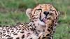 Cheeta cleaning (Pingo2002) Tags: africa kenya 2017 wildlife wild nature animal masaimara cat cheeta gepard toung