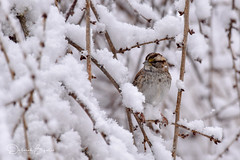More Snow... (dbifulco) Tags: nature snowing wtsp birds newjersey snow whitethroatedsparrow wildlife winter