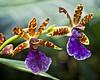 Orchid Ballet (MrBlueSky*) Tags: orchid flower petal garden horticulture nature outdoor colour kewgardens royalbotanicgardens london pentax pentaxart pentaxlife pentaxk1 pentaxawards pentaxflickraward aficionados zygopetalum