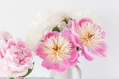 Bowl of Beauty Peony (Zoë Power) Tags: peonies bowlofbeauty summer sarahbernhardt peony flowers mygarden pink