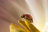 Macro mondas - imperfection (Magda Banach) Tags: canon canon80d ladybug sigma150mmf28apomacrodghsm brudne colors flora flower imperfection macro macromonday nature plants pręciki pyłki tulip yellow pollen stamens