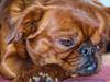 Fynn (Wolfgang Biller) Tags: hundeportrait dogs hunde tiere portraits king charles spaniel petit brabancon