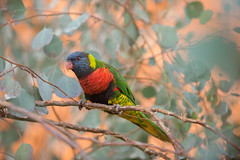 Lorikeet's Winged Wonders. (LisaDiazPhotos) Tags: living desert wildlife palm lisadiazphotos lorikeet winged wonders