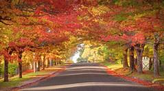 The Colours Of A Blackheath Autumn || BLUE MOUNTAINS || NSW (rhyspope) Tags: australia aussie nsw new south wales blue mountains autumn fall road street avenue red yellow orange colorc olour rhys pope rhyspope canon 5d mkii blackheath mountain golden light morning foliage