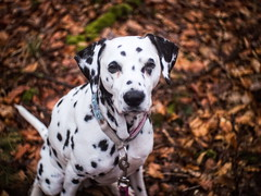 Bokeh. (jens.steinbeisser) Tags: deutschland olympusepl3 tierfotografie dalmatiner m42objektiv hund meyerdomiplanpentaflex50mmf28 hundefotografie hundefotos rawtherapee niedersachsen outdoor hunderasse bokeh shisana focalreducer