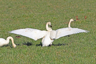 Trumpeter Swans 18-0220-5638