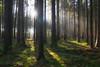 Forest Bathing (nemophilister) Tags: forest raysoflight crepuscularrays sunrays sunlight sunbeams trees woods soil duff light shadows nature sunstar flare