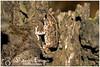 Guttural Toad (Amietophrynus Gutturalis) (Sharon Emma Photography) Tags: africancommontoad gutturaltoad amietophrynusgutturalis bufonidae amietophrynus anura amphibia amphibian snore croak noisy rainforest blackrivergorgesnationalpark mauritius maurice republicofmauritius island indianocean africa mascareneislands french dutchcolony perfect paradise desertedparadise sunlight sun pictureperfect picturesque nature naturalworld wildlife wild ngc beautiful pretty ideal stunning peaceful nikon nikond7200 d7200 sharonemmaphotography sharongoldring sharonemmagoldring sharondowphotography sharondow february2018 2018 wintersun holiday travelling abroad yellowstripe