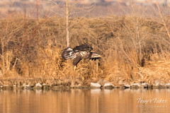 Bald Eagle fishing attempt 2 - 11 of 12
