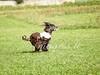 CoursingVillaverla2016w-080 (Jessica Sola - Overlook) Tags: dogs sighthounds afghanhounds greyhounds saluki barzoi italiangreyhounds irishwolfhounds lurecoursing lure race run dograces field greengrass