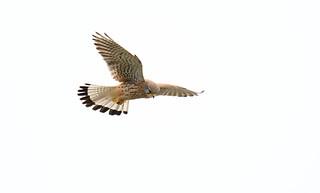 Faucon Crécerelle - Common Kestrel (Falco tinnunculus)