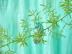105-Seahorse 24mm (3) (tinyteensdolls) Tags: amigurumi crochet crochetmini craft crochettoy crochetminiature toy tinyamigurumi tiny threadcrochet miniature mini microcrochet micro minicrochet miniamigurumi seahorse sea seacreature