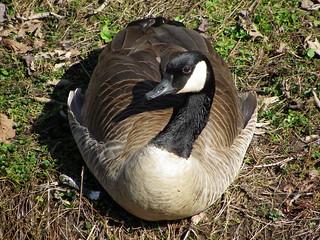 Canada Goose IMGP2943