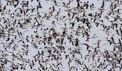 IMG_9840 snowgeese (starc283) Tags: starc283 snowgeese snows bird birding birds migration nature naturesfinest naturewatcher wildlife waterfowl outdoor outdoors flickr flicker