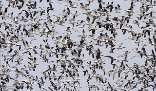 IMG_9840 snowgeese