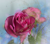 Pink Roses (Smiffy'37) Tags: lensbaby roses pink nature flowers portrait olympus