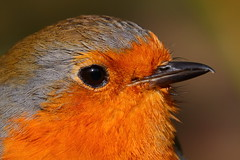 Robin Close Up (Yorkshire Pics) Tags: robin birds gardenbirds britishbirds wildlife wildlifeinyorkshire ukwildlife britishwildlife yorkshirewildlife urbanwildlife 0803 08032018 8thmarch 8thmarch2018 fairburnings