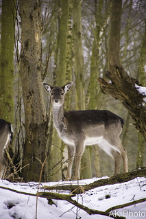 Portrait of the Fallow