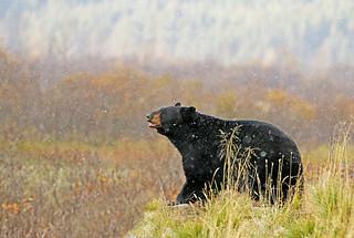 Nice Black Bear In A Snow Storm