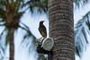 Perch for a Myna (D. R. Hill Photography) Tags: thailand myna bird nature wildlife bokeh palmtree perch travel nikon nikond3100 d3100 nikon18200mm 18200mm