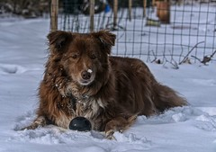 Sweet Shizandra (Happy Autumnal Equinox!!!) Tags: ddc 2319 sweet shizandra chocolatebearofsweetness bordercolliemix dog female canine inthebackyard snow outside ball black white resting nose fence posts