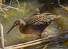 Kng Rail (Rallus elegans) (wandering tattler) Tags: bird wildlife rail kingrail king elusive shy wetlands marsh florida ralluselegans railus