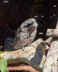 DSCF6156 (twikideaky) Tags: bonorongwildlifesanctuary tasmania australia tawny frogmouth