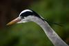 Staring at the Egyptian goslings (PChamaeleoMH) Tags: birds centrallondon fauna herons london stjamesspark