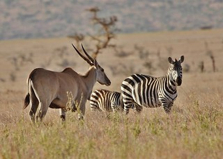 Eland (Taurotragus oryx) and Common Zebras (Equus quagga)