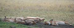Tanzania 2017 (Marianne Zumbrunn) Tags: tanzania 2017 nikon d610 nikond610 serengeti safari 300mm f4 nikon300mmpf