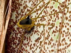 Metagryne bicolumnata, Opiliones (Eerika Schulz) Tags: metagryne bicolumnata opiliones weberknecht harvestman puyo ecuador jardin botanico las orquideas