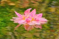 Water Lily (peeteninge) Tags: waterlily flower flora nature pink waterlelie bloem natuur roze fujifilmxt2 fujifilm