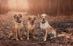 Golden Path (Rainfire Photography) Tags: goldenretrievers dogs group pack woods walk nature photoshop nikon pet photography