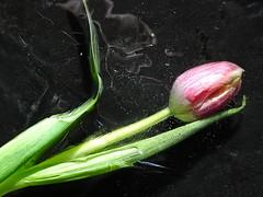 Prisonière des glaces (JMVerco) Tags: glace ice ghiaccio hiver winter inverno fleur flower fiore gel tulipe coth coth5