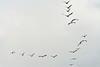 DSC_0577 (H Sinica) Tags: 贊比亞 zambia zimbabwe 津巴布韋 zambeziriver 贊比西河 africansacredibis threskiornisaethiopicus 聖䴉 聖鷺 curlew