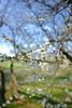 (Minami45) Tags: japan plumblossoms